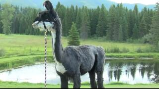 Llamas help Montana outfitter bring customers to nature