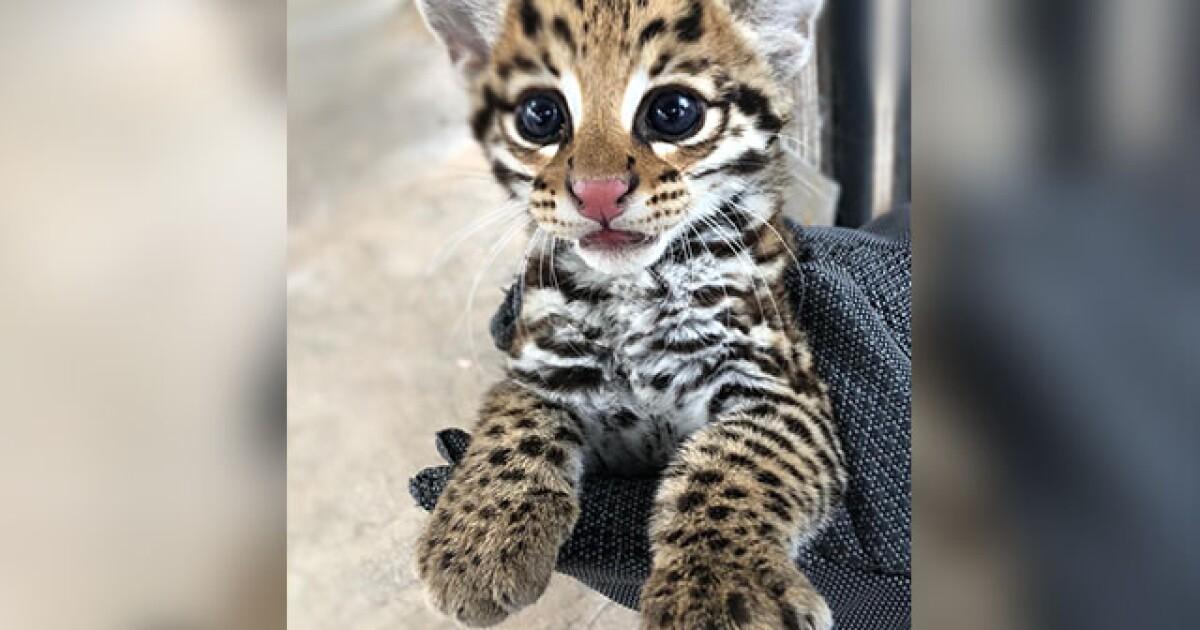 Rare ocelot kitten born at the Desert Museum
