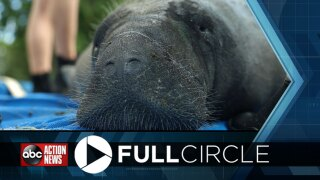 """Manatee """"Greedy B"""" released in the St. Johns River"""