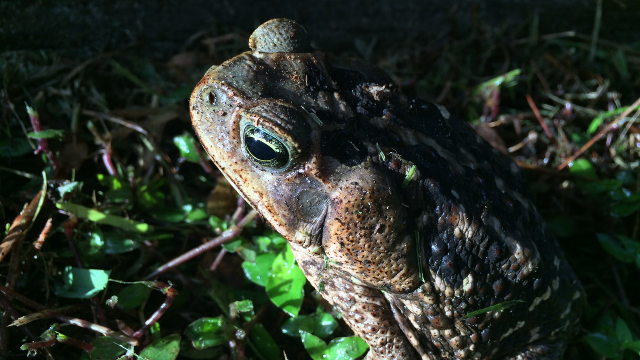 FWC reminds pet owners to protect pets from 'very poisonous' bufo toads