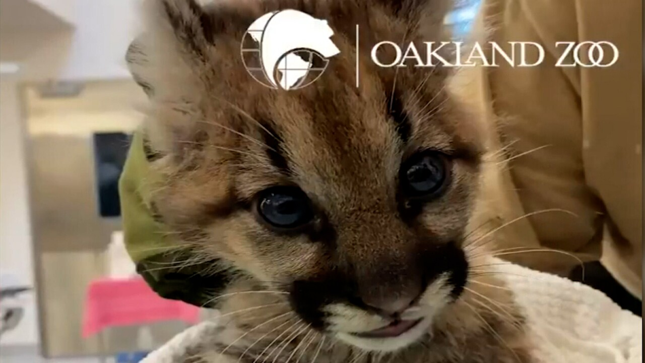 3 mountain lion cubs orphaned by California wildfire, getting care at Oakland Zoo