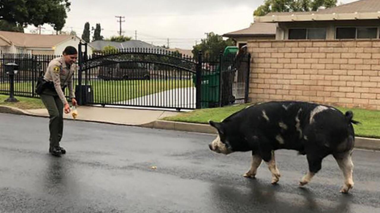 Deputies use Doritos to lure pig back home