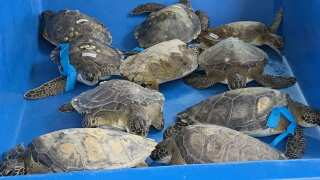 Green Turtles found along Texas Bay