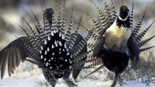 Feds to give states more flexibility in protecting wild sage grouse