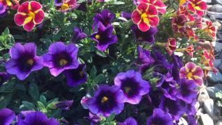 northernlightsflowers.jpg