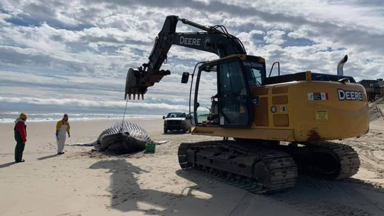 Necropsy returns for humpback whale that washed ashore in Corolla