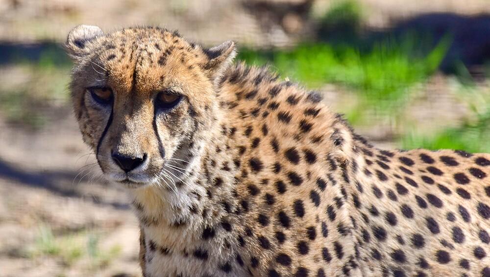 Zoo_Cheetah_02.jpg