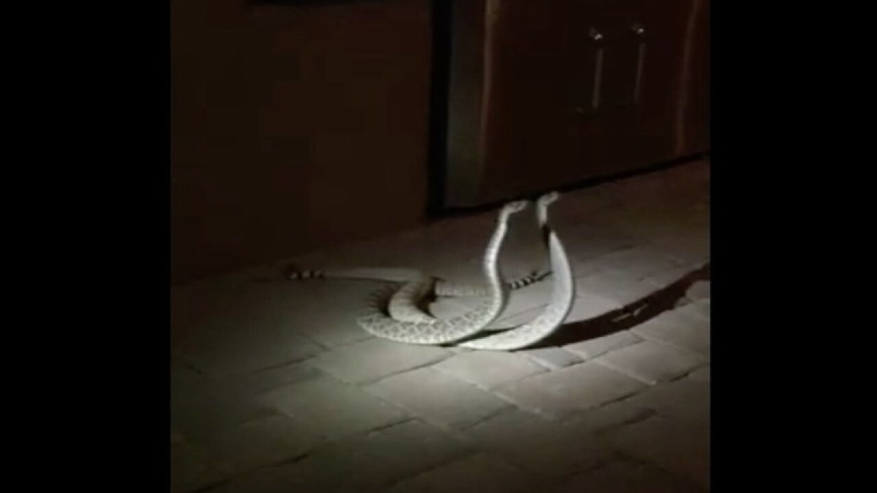 Video catches rattlesnakes fight for dominance