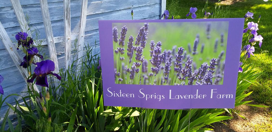 Sixteen Sprigs lavender farm