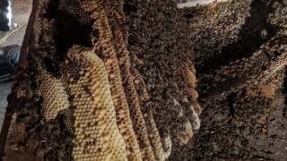 El Cajon homeowner discover gigantic beehive under back yard shed