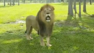 New lion exhibit opens at Lion Country Safari