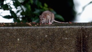 Texas' health and human services building is overrun by rats