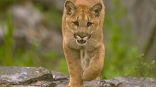 Mountain Lion Attacks, Kills Family Dog
