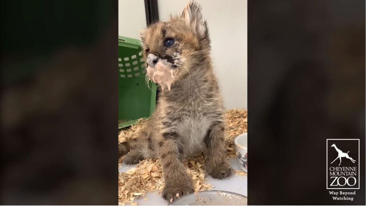 The new mountain lion kitten at the Cheyenne Mountain Zoo enjoying some food.