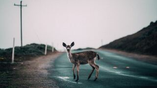 Deer in road generic