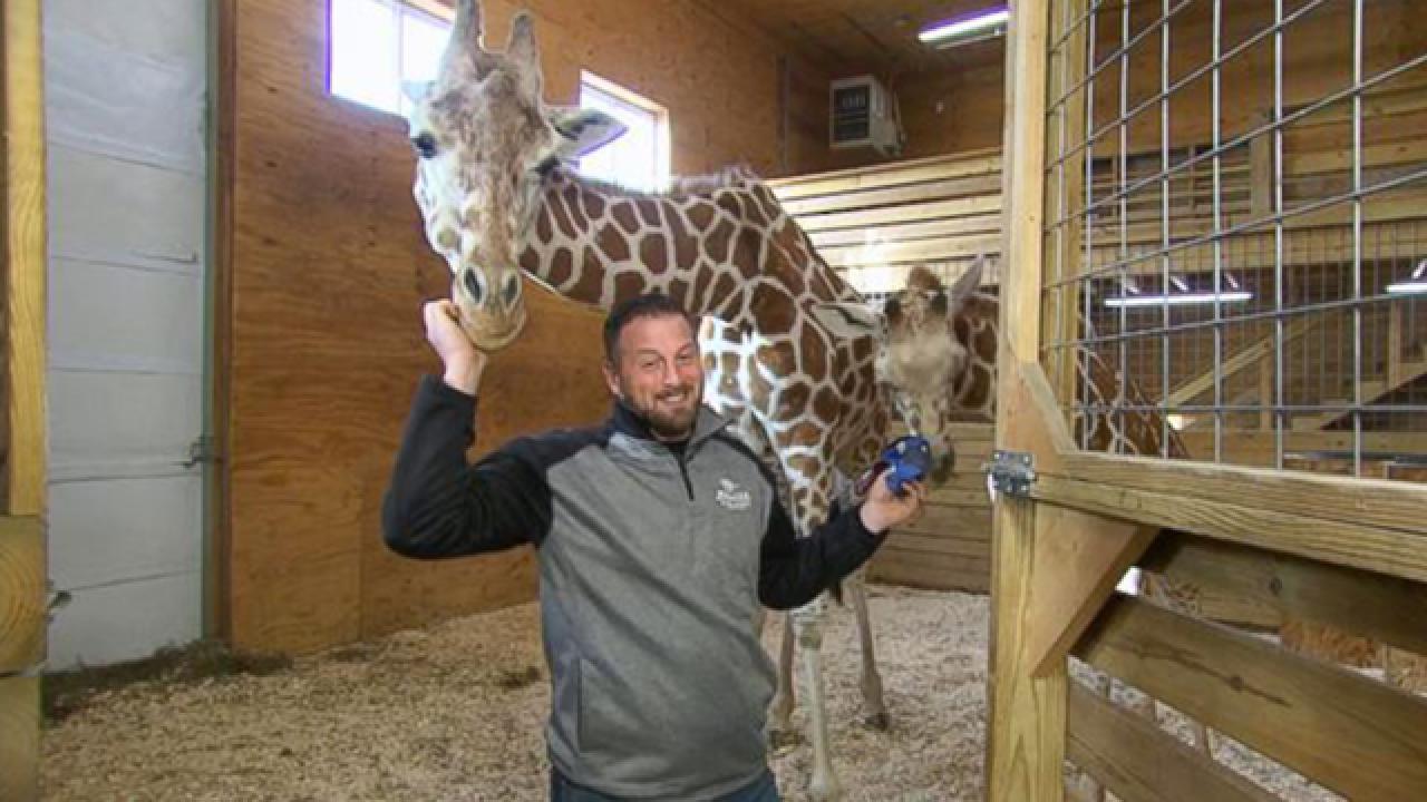 'April the Giraffe' is pregnant again, park says