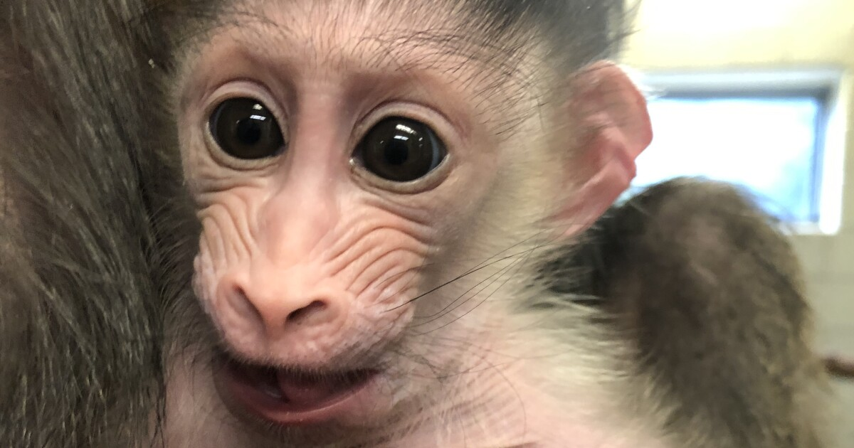 Baby mandrill born at Denver Zoo; first since 2003
