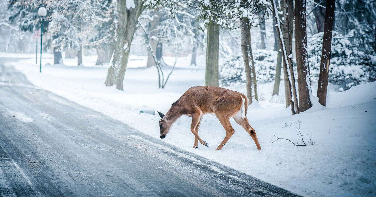 Stark County has the most car versus deer crashes in Ohio