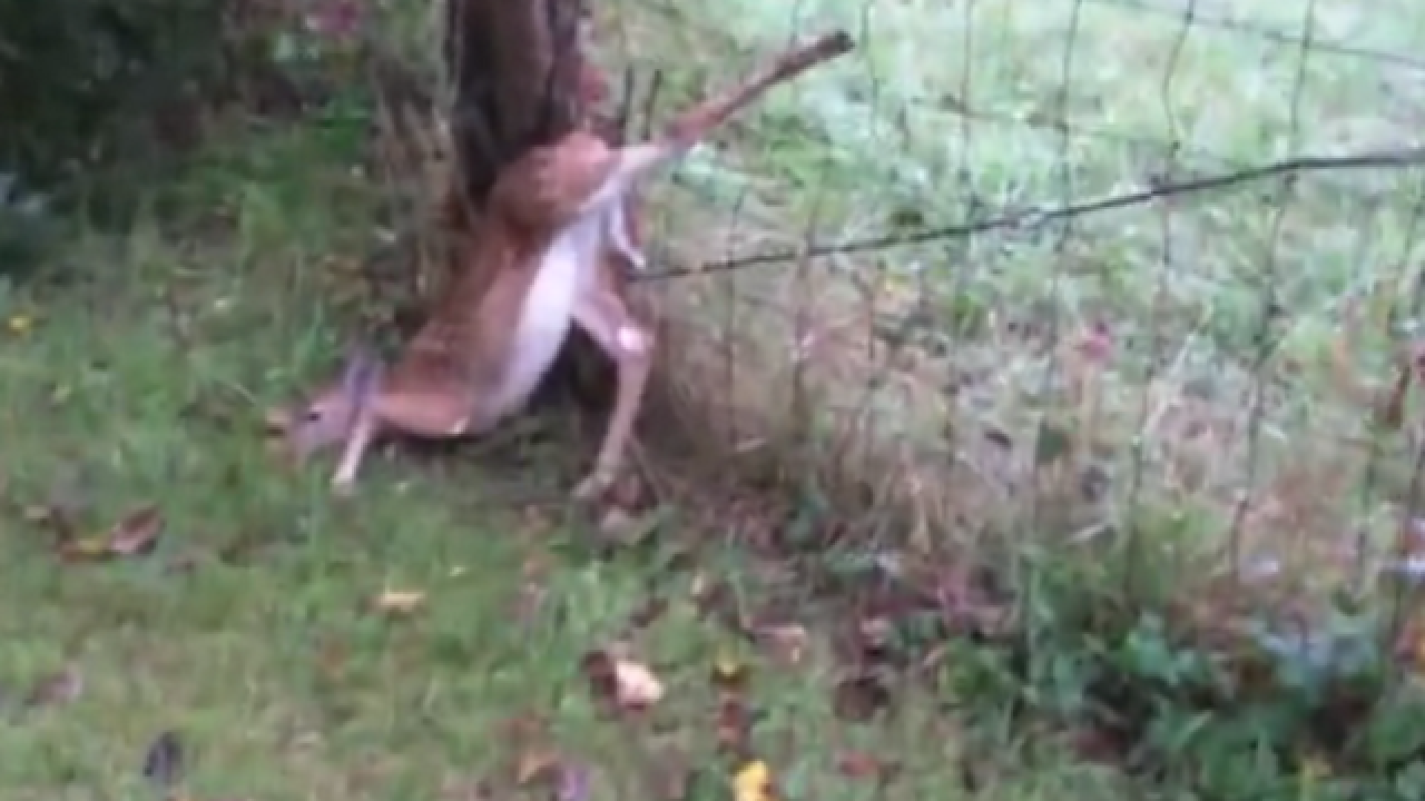 WATCH: Young deer rescued from fence