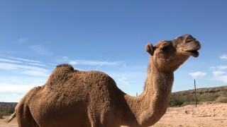 desert ranch camels.jpg