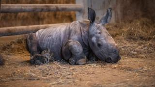 White rhino calf The Wilds