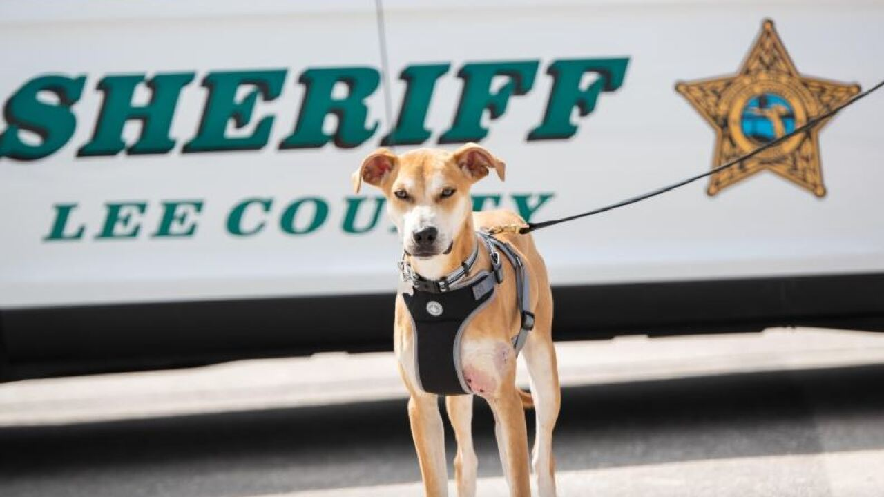 Abused dog gets new assignment at Florida sheriff's office
