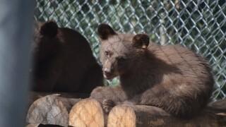 bear cub 416 fire.jpg