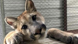 wptv-cougar.jpg