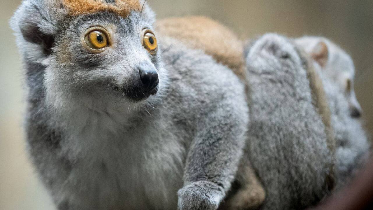 Lemurs at the Cleveland Metroparks Zoo.