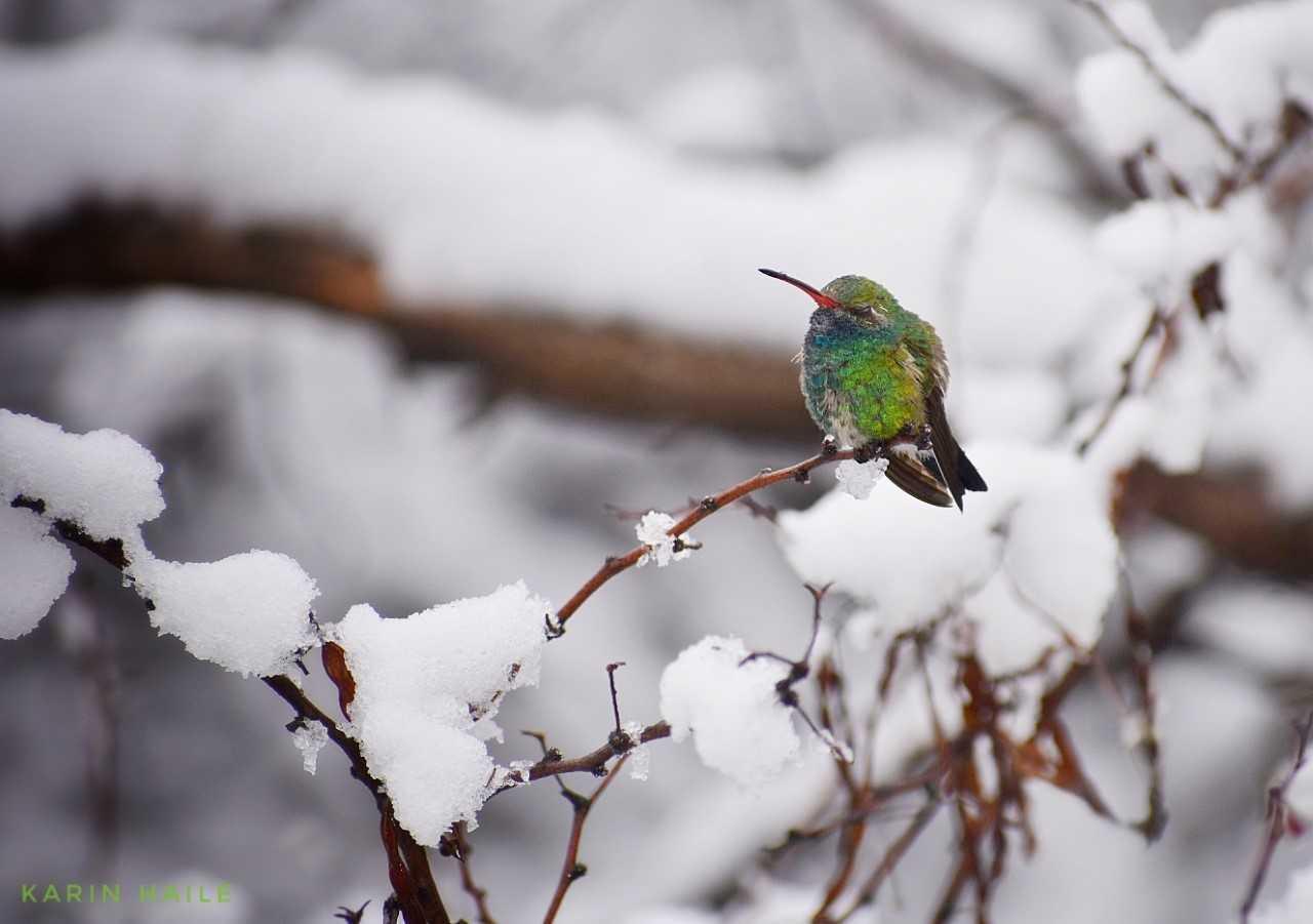 Karin Haile from Oro Valley - Hummingbird in snow - 1.jpg