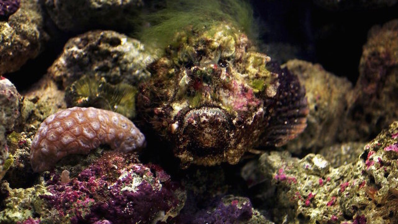 Stonefish are already scary, and now scientists have found they have switchblades in their heads