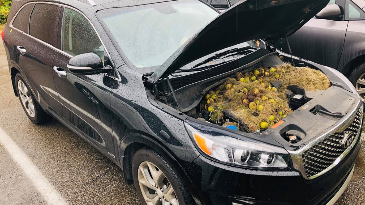 Chris and Holly Persic found more than 200 walnuts under the hood of their car.