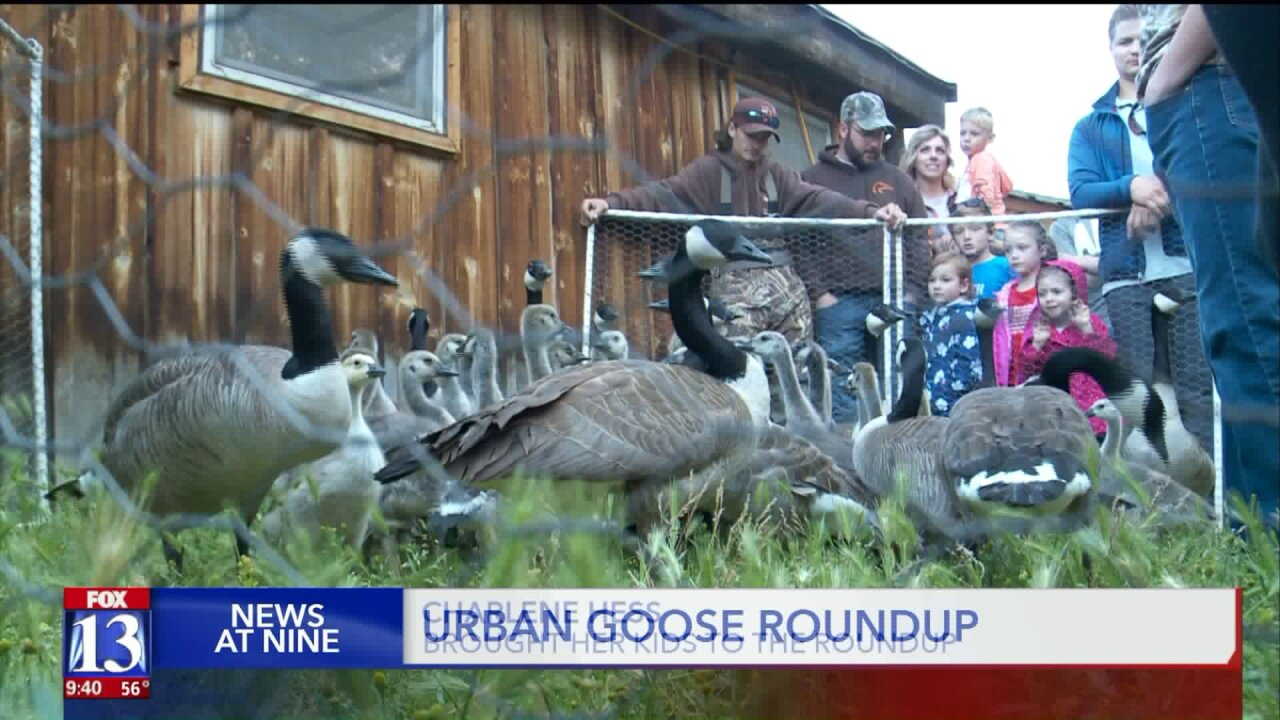 Officials, locals and volunteers round up geese at Wheeler Farm