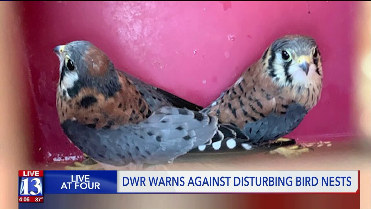 After baby kestrels' death, DWR warns to not disturb bird nests