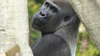 Celebrate World Gorilla Day at the Detroit Zoo