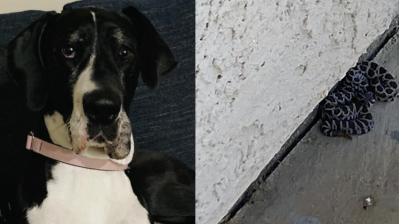 'Hero' dog saves owner from rattlesnake bite in Oceanside back yard