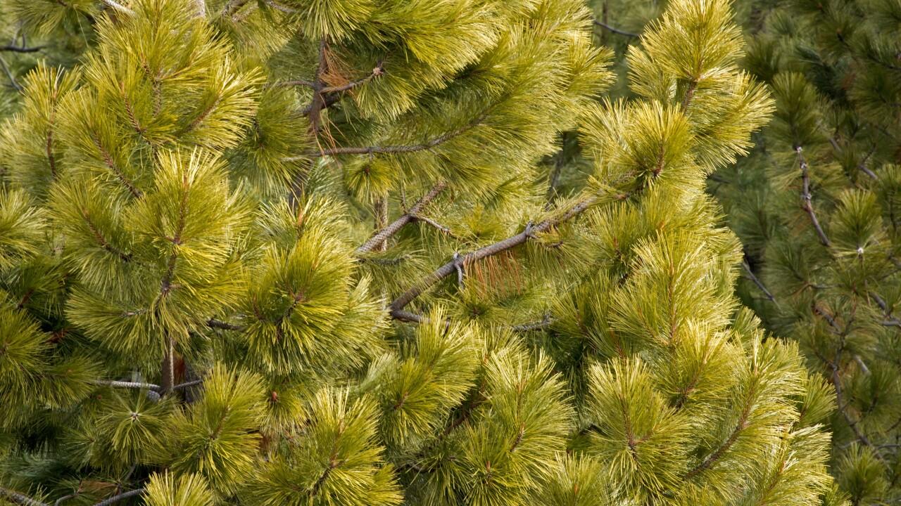 pine-tree-background_fkGUtkKd-SBI-300346686.jpg