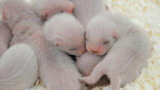 Phoenix Zoo Black-footed ferrets.JPG