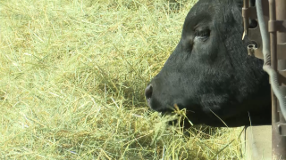 Montana Stockgrowers Association: Cattle market dropped dramatically