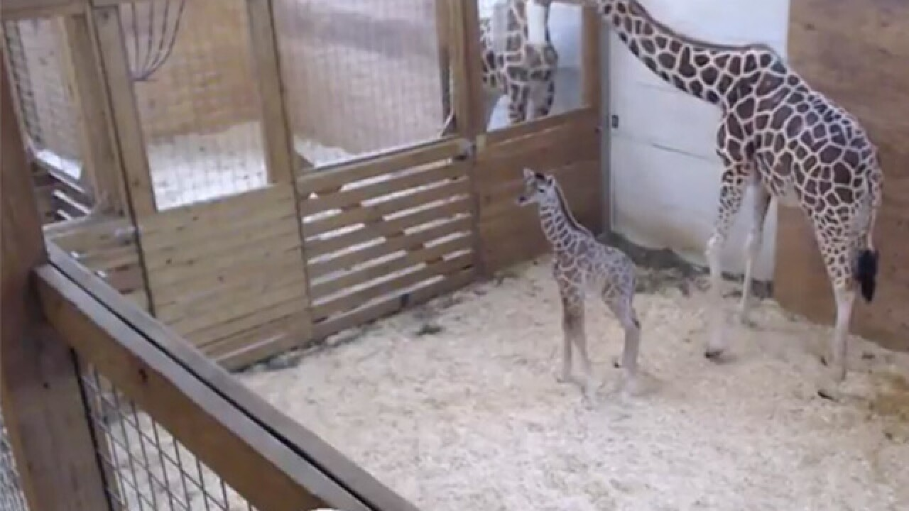 April the Giraffe's baby celebrates his birthday