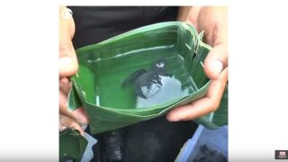 Video Extra: Baby sea turtles released in Bali