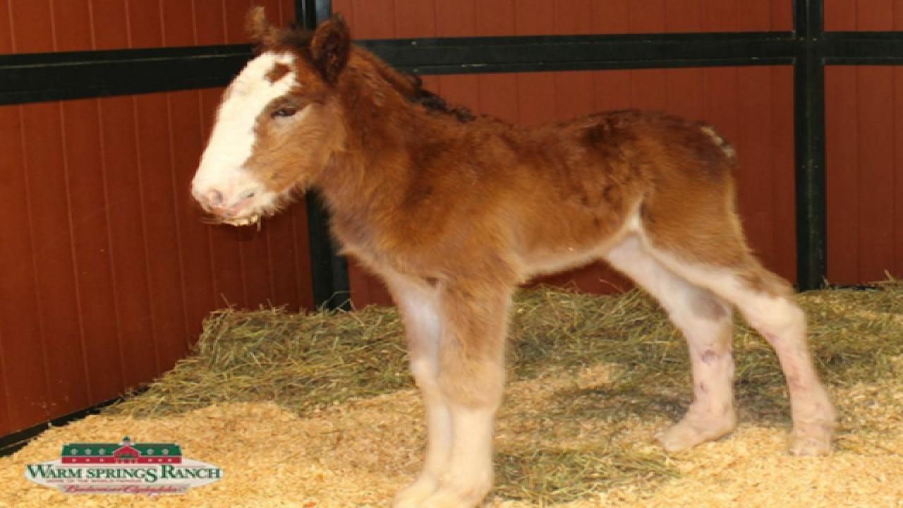 Budweiser welcomes baby Clydesdale horse