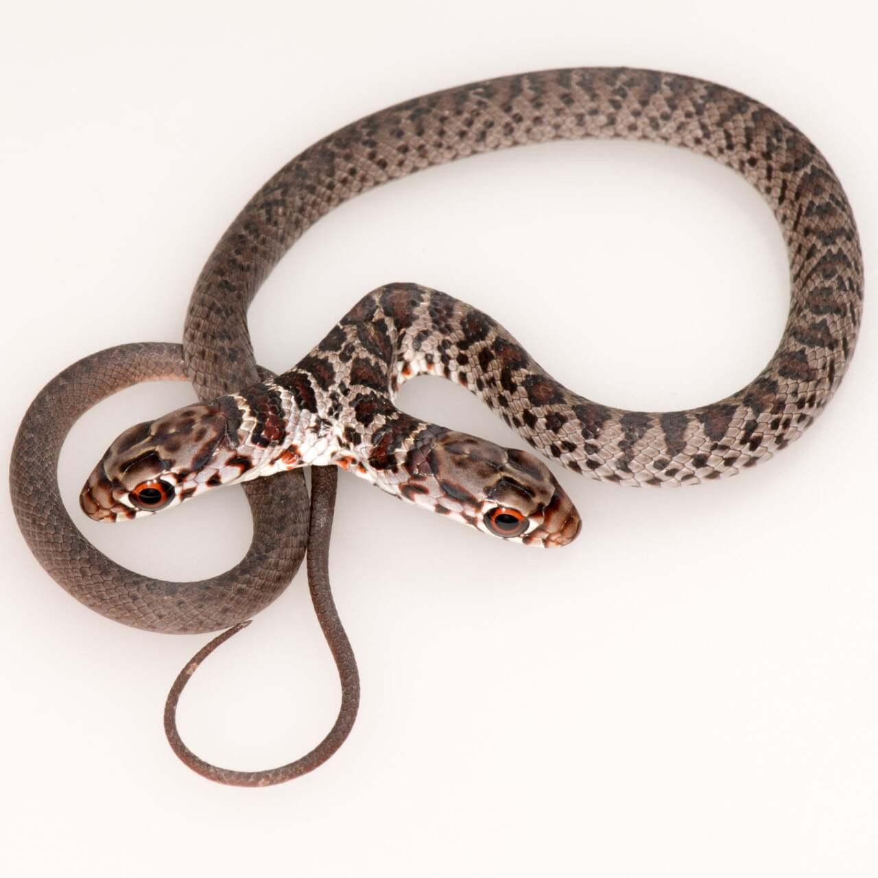 2 headed snake 2.jpg