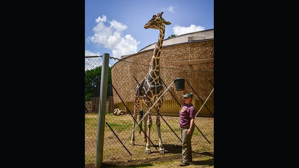 Caesar the giraffe at The Maryland Zoo (7).jpg