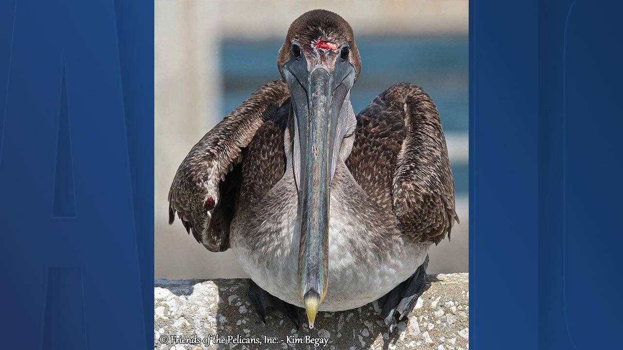 injured-pelican2.jpg