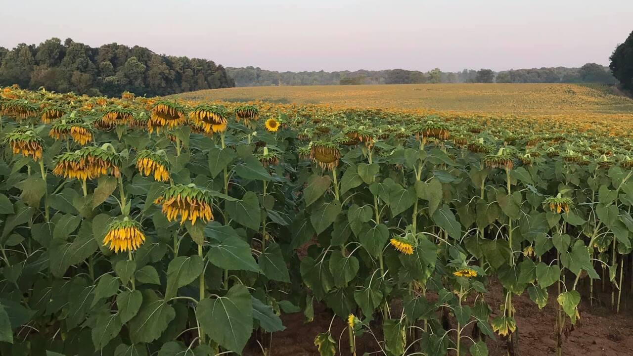 Annual sunflower festival offers stunning views of massive flower fields
