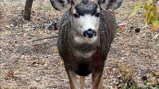 Poached Deer in Palmer Lake