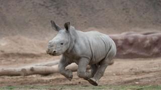 "Three-Week-Old Southern White Rhino Calf ""Gets Air"" at the  San Diego Zoo Safari Park  Edward, a southern white rhino calf at the San Diego Zoo Safari Park, ""gets air"" as he runs around and explores the exhibit yard at the Nikita Kahn Rhino Rescue"