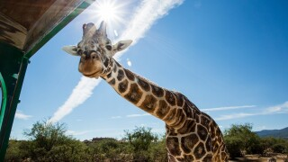 Out of Africa giraffe Kibo dies