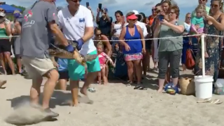Two turtles released in Juno Beach